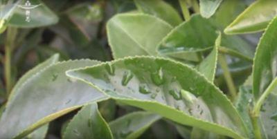 【大愛新聞】20131130  - 慈濟三義茶園 純素有機自然茶
